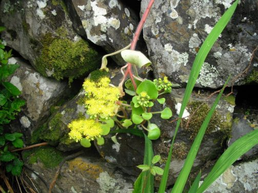 Endemische Pflanze