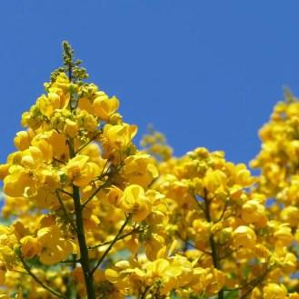 Gelb blühender Baum