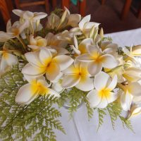Frangipani (Wachsblume)