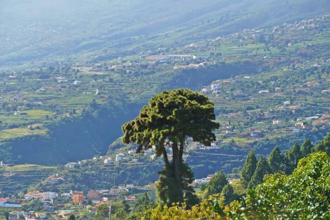 Kiefer - Pinus canariensis