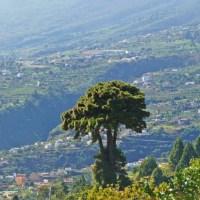 Die standhafte Pinus canariensis