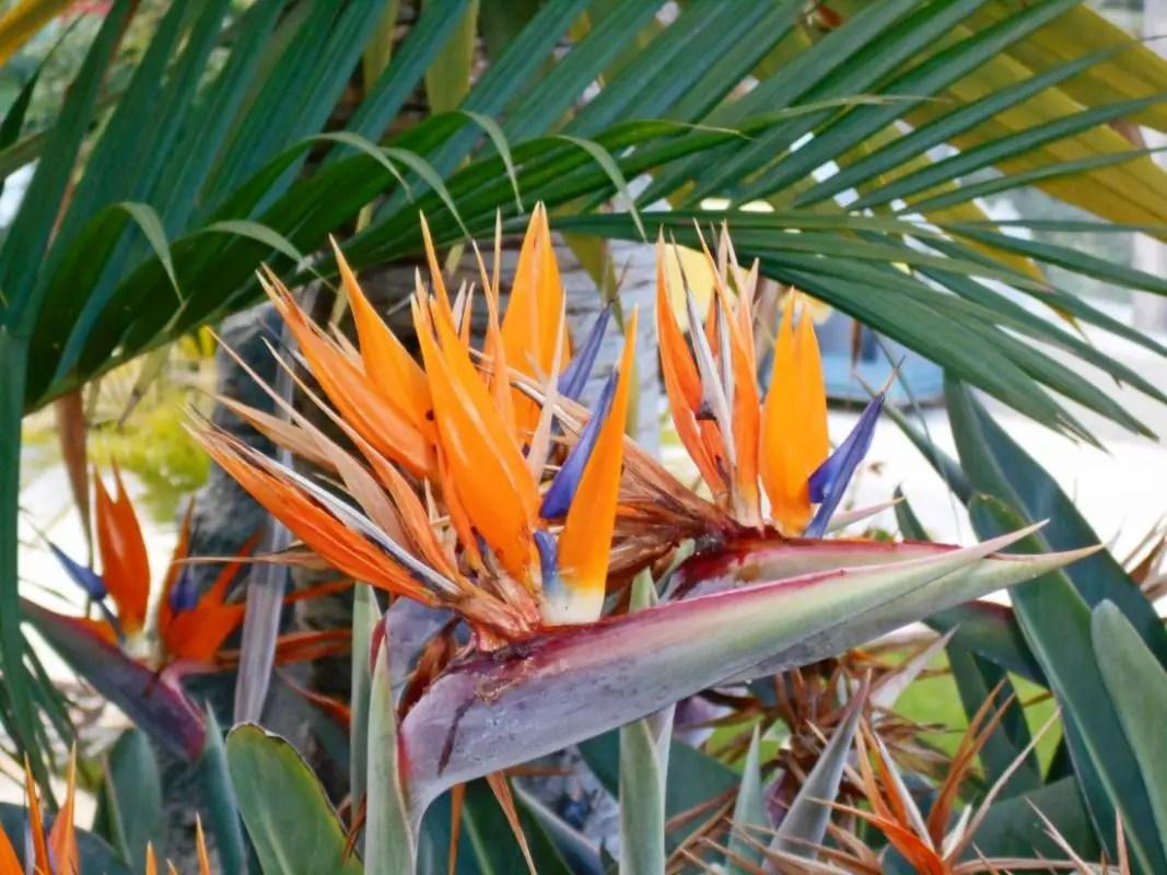 Paradiesvogelblume - Strelitzia