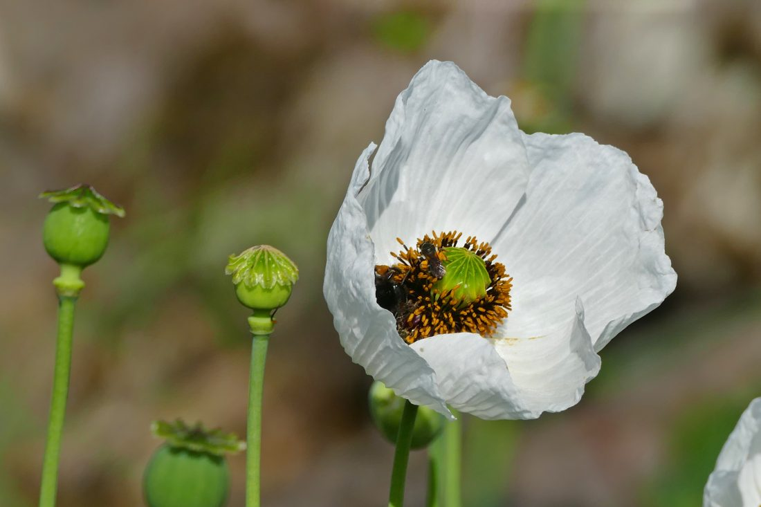 Weiße Blüte - Mohn