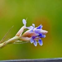 Blüte der Luftnelke