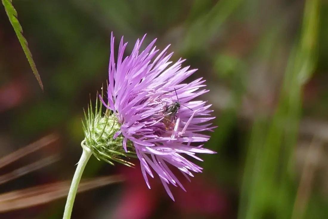 Blüte - Ackerdistel
