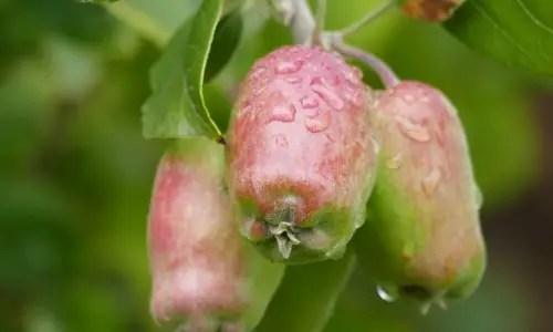 Die Frucht der Versuchung