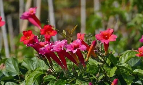 Rankende Trompetenblumen