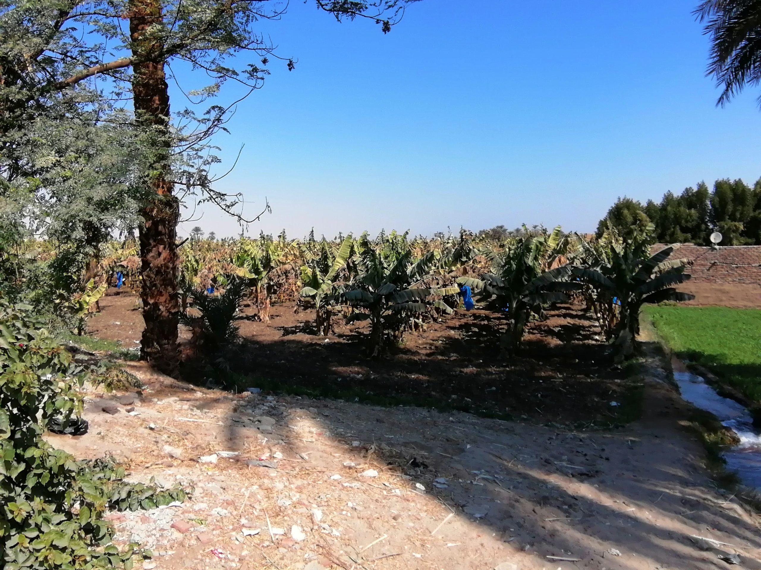 ルクソール西岸のバナナ畑