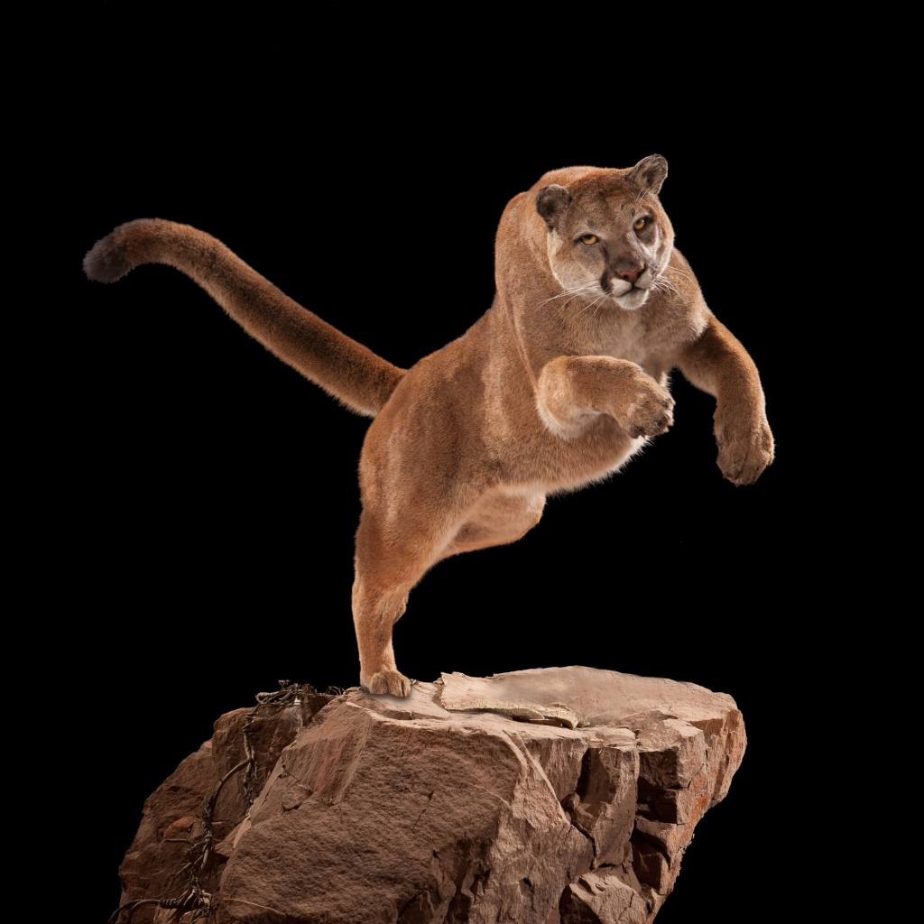 Mountain lion cougar taxidermy front view