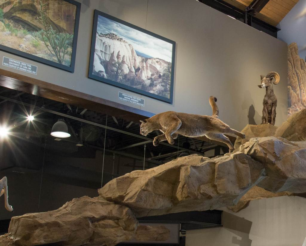 Taxidermy mount of mountain lion attacking