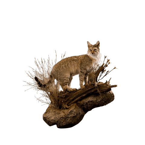 african wild cat full size pose