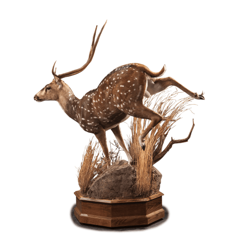 running axis deer taxidermy