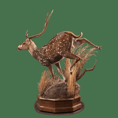 running axis deer taxidermy
