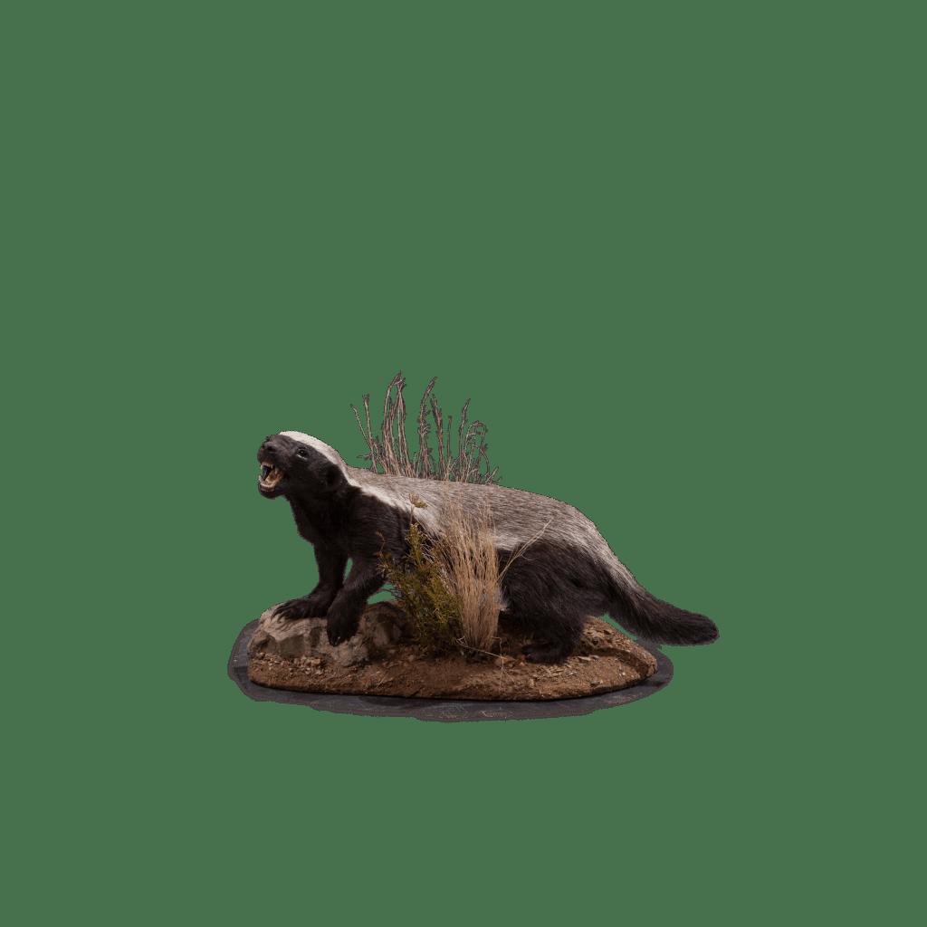 badger taxidermy