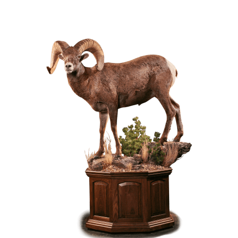 Bighorn sheep pedestal taxidermy