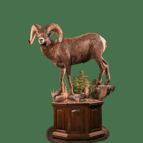Bighorn sheep pedestal taxidermy