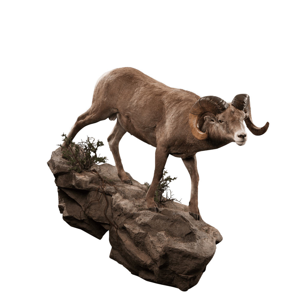 Bighorn sheep lifesize mount