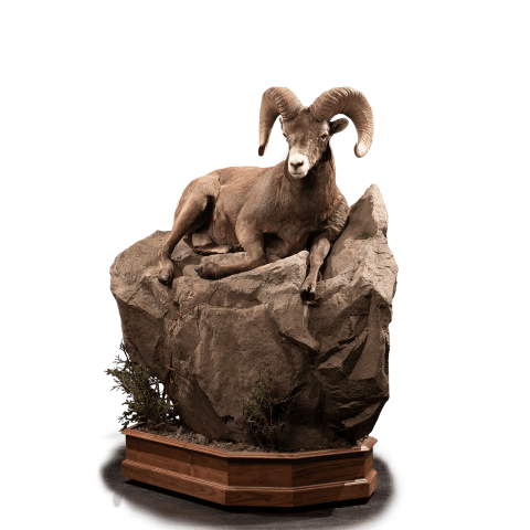 Bighorn sheep rests on rocks taxidermy