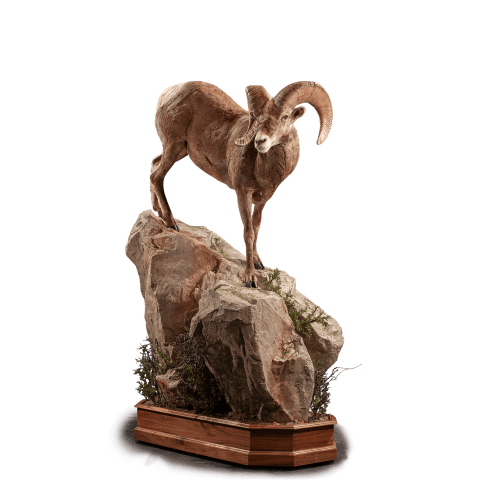 Lifesize bighorn sheep mount