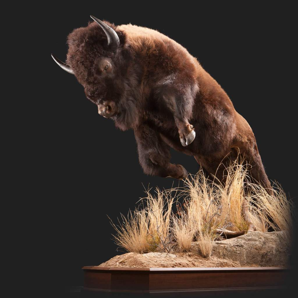 Bison taxidermy front view