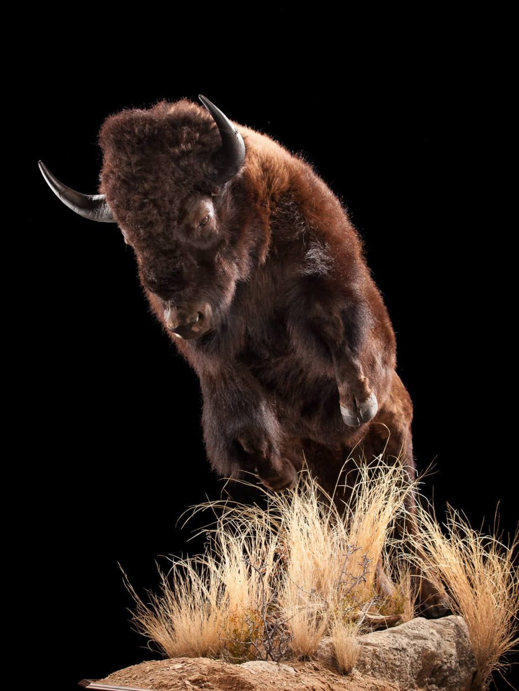 Bison (North American buffalo) taxidermy