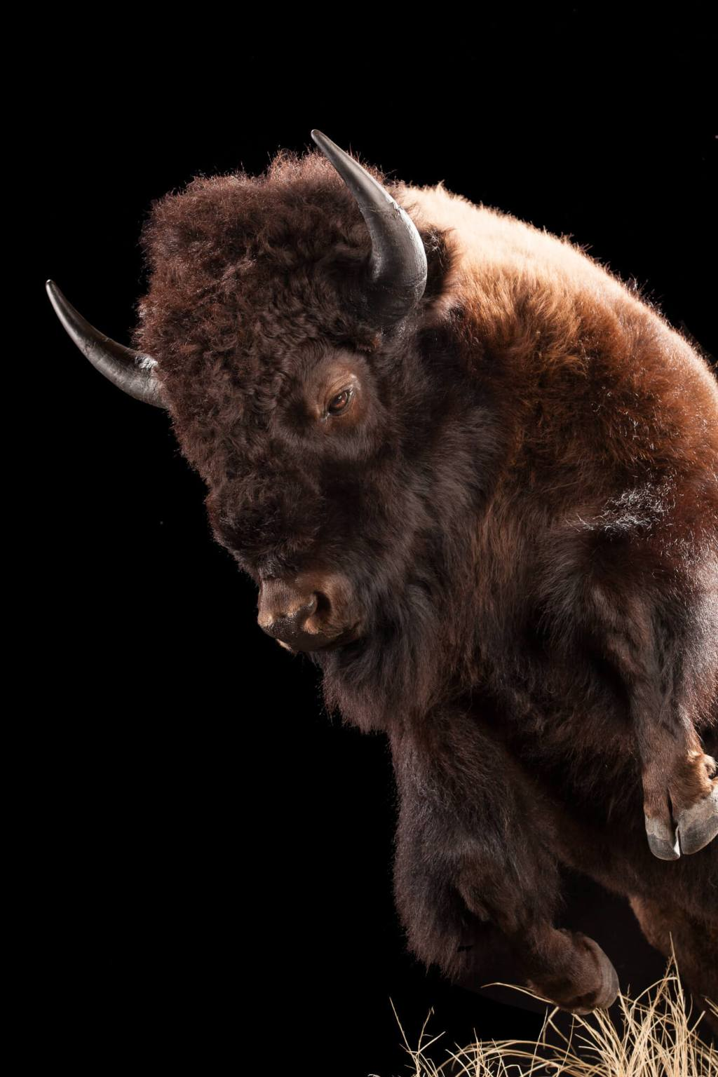 Bison taxidermy