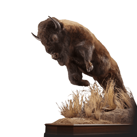 Bison lifesize mount