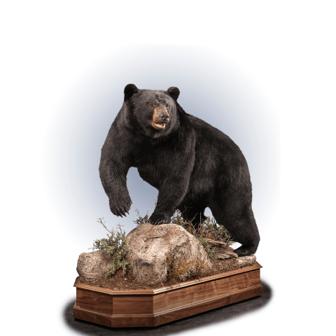 black bear life size mount