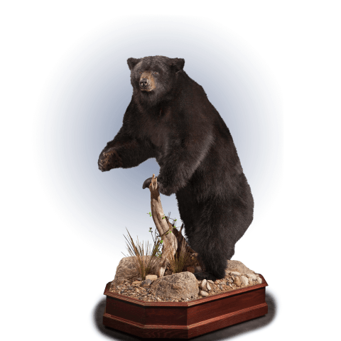 full size black bear pose taxidermy