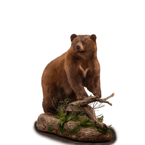 full size black bear on branch