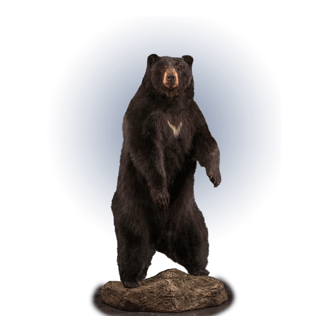 full size standing black bear taxidermy