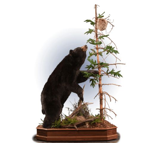 black bear with bees nest taxidermy