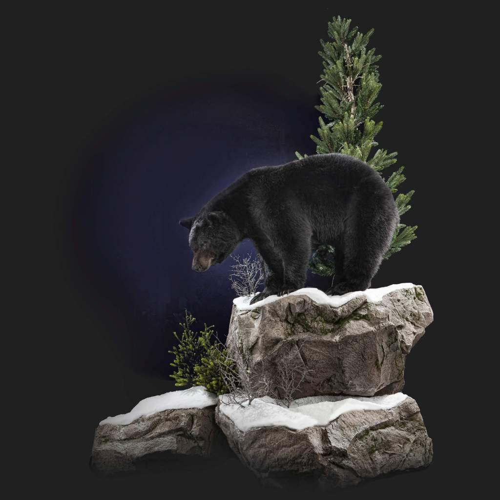 Black Bear taxidermy full view