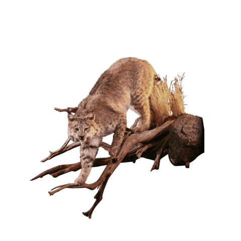Bobcat lurches in tree taxidermy
