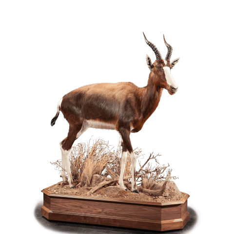 bontebok full size mount