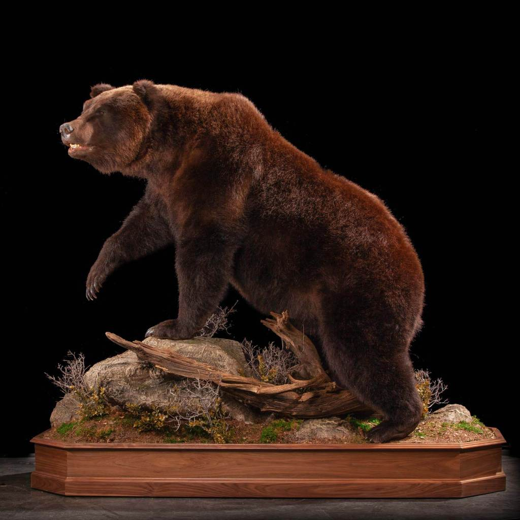 Brown bear full size taxidermy mount