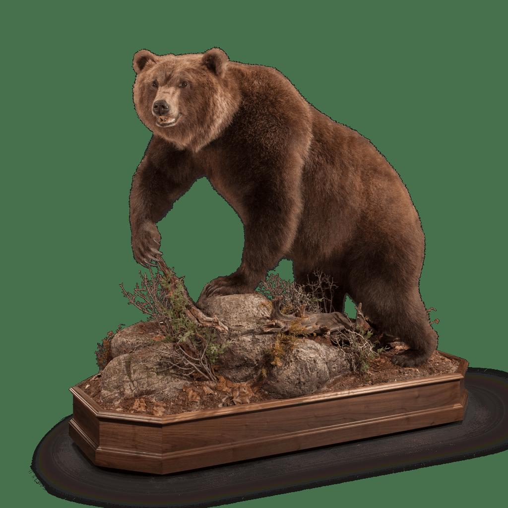 Full size brown bear on rocks taxidermy