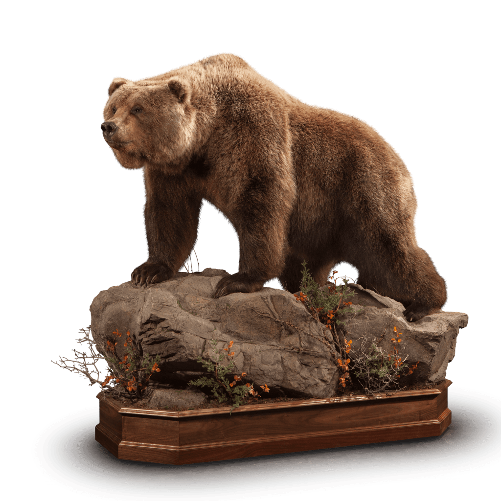 Life size brown bear on rocks taxidermy