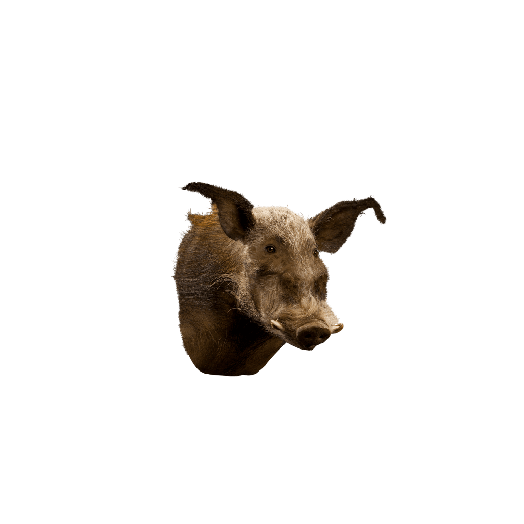 bush pig shoulder mount