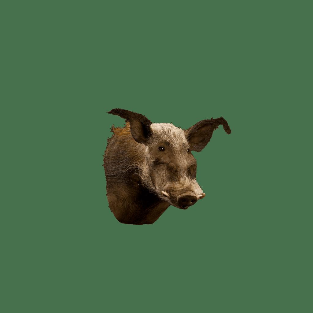 bush pig shoulder mount