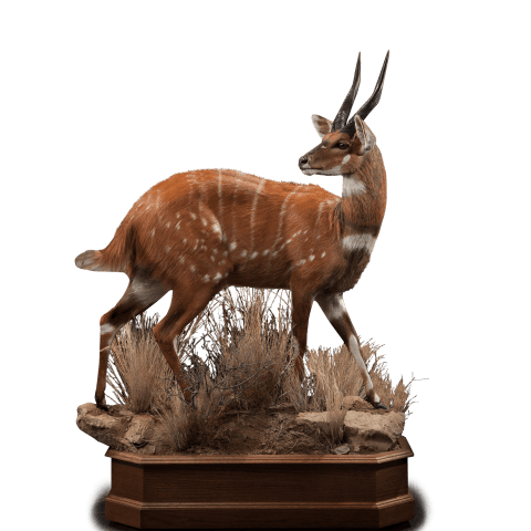 grazing bushbuck mount