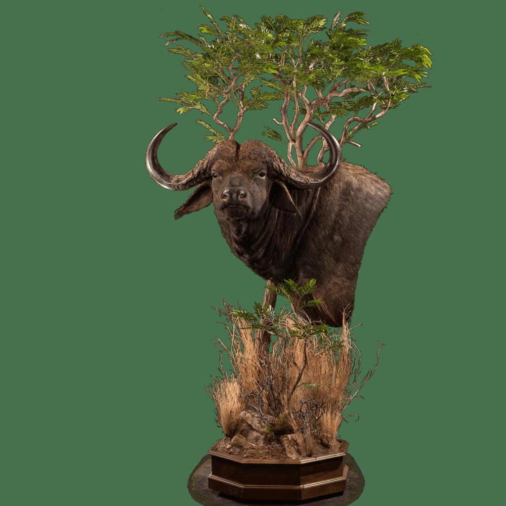 cape buffalo shoulder mount