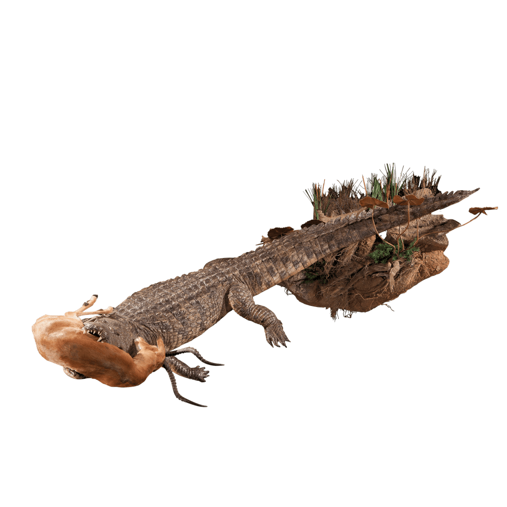 crocodile with prey full size mount