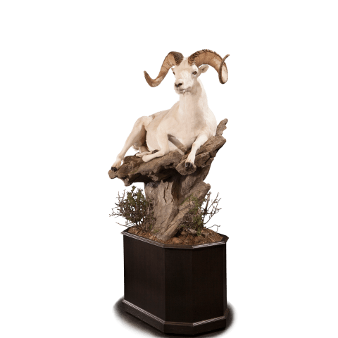 Dall sheep life size mount