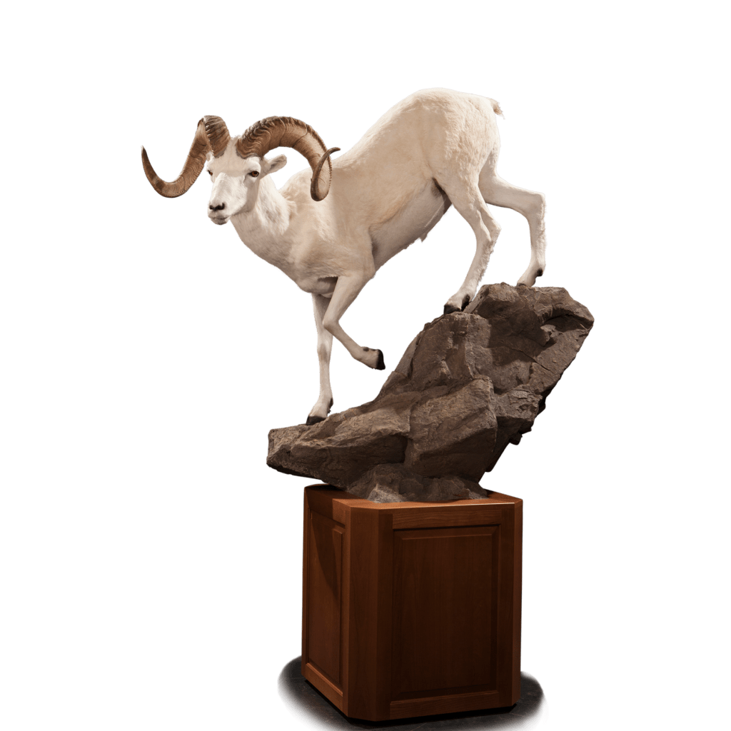Life size dall sheep mount