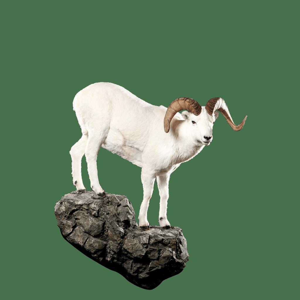 Dall sheep on rock taxidermy