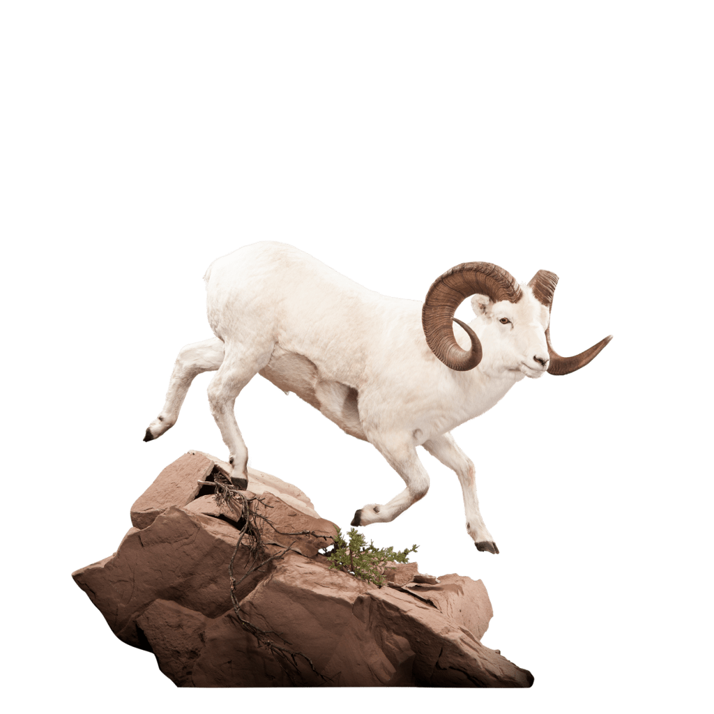 Dall sheep runs on rocks taxidermy