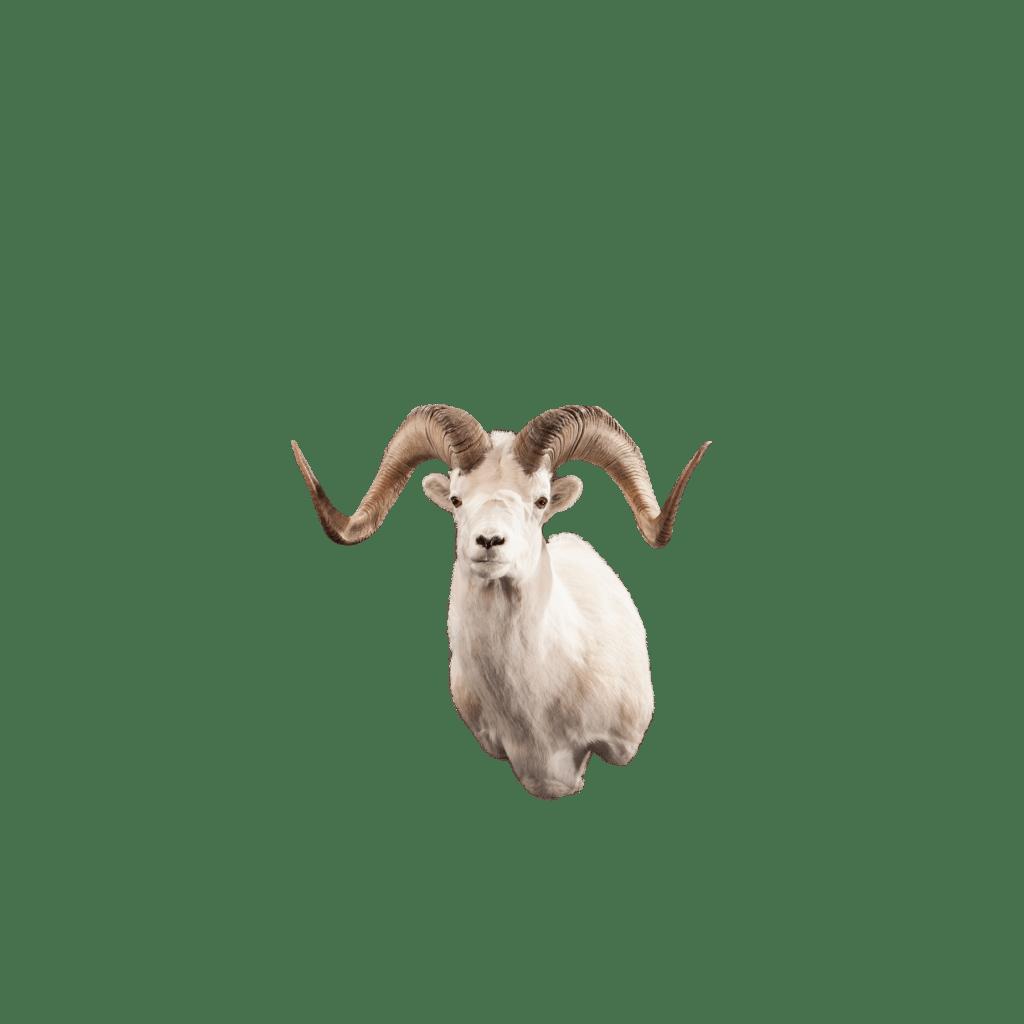 White sheep shoulder mount