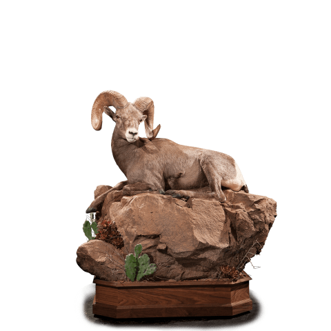 Desert sheep lays on rocks taxidermy