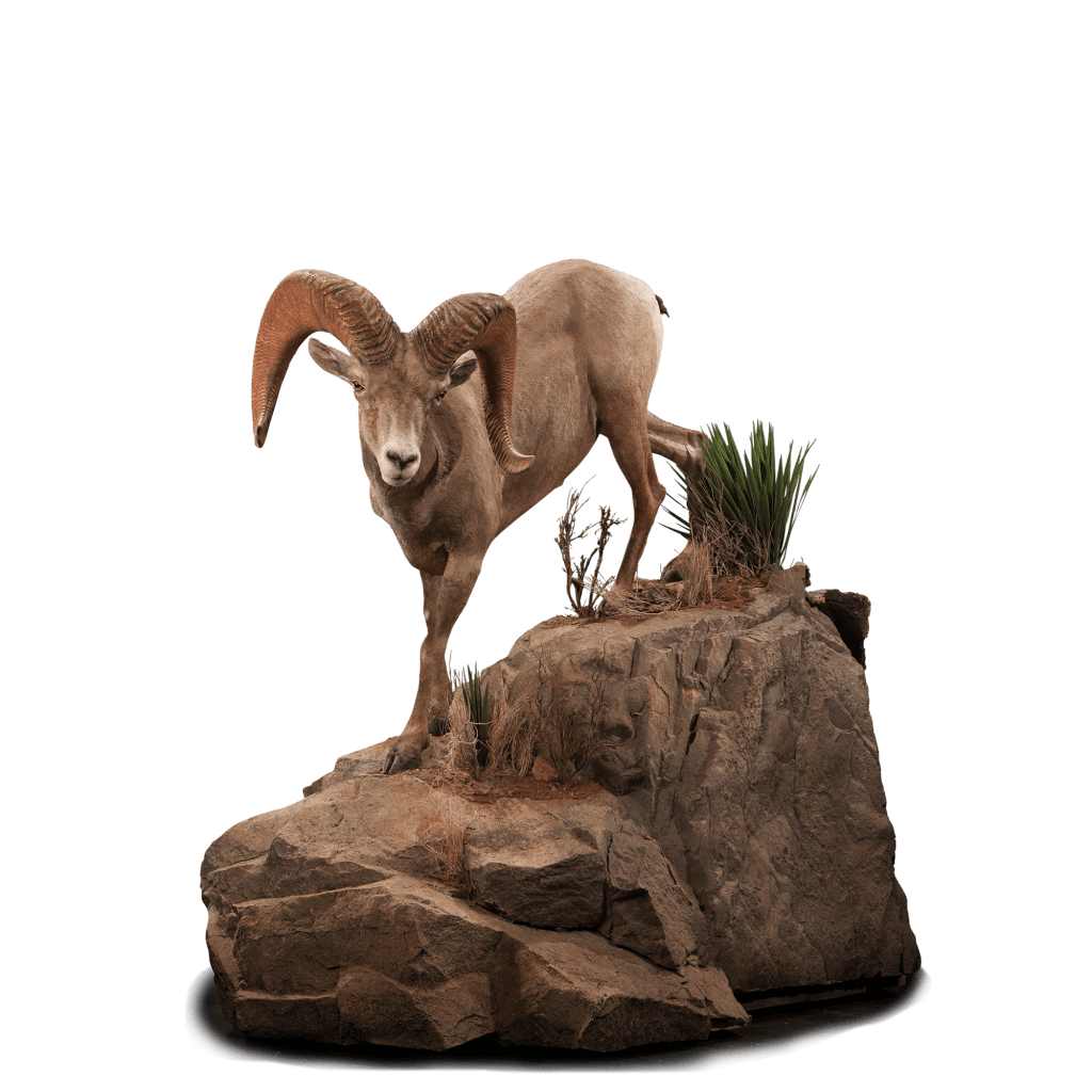 Desert sheep walks on rocks taxidermy